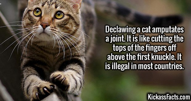 3018 Declawing Cats-Declawing a cat amputates a joint. It is like cutting the tops of the fingers off above the first knuckle. It is illegal in most countries.