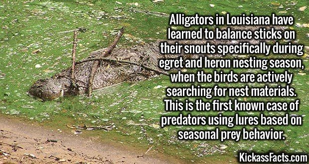 3020 Alligator Sticks-Alligators in Louisiana have learned to balance sticks on their snouts specifically during egret and heron nesting season, when the birds are actively searching for nest materials. This is the first known case of predators using lures based on seasonal prey behavior.