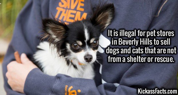 3050 Beverly Hills pets-It is illegal for pet stores in Beverly Hills to sell dogs and cats that are not from a shelter or rescue.