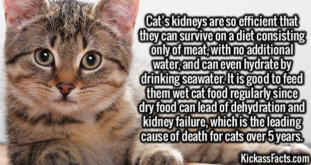 3076 Cat Kidneys-Cat's kidneys are so efficient that they can survive on a diet consisting only of meat, with no additional water, and can even hydrate by drinking seawater. It is good to feed them wet cat food regularly since dry food can lead of dehydration and kidney failure, which is the leading cause of death for cats over 5 years.