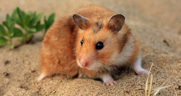 Golden hamsters