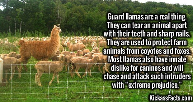 """3220 Guard Llamas-Guard llamas are a real thing. They can tear an animal apart with their teeth and sharp nails. They are used to protect farm animals from coyotes and foxes. Most llamas also have innate dislike for canines and will chase and attack such intruders with """"extreme prejudice."""""""
