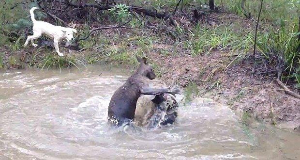 Kangaroos drowning