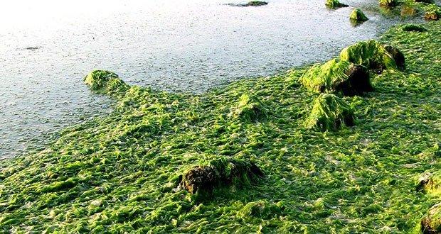 Decomposing sea lettuce