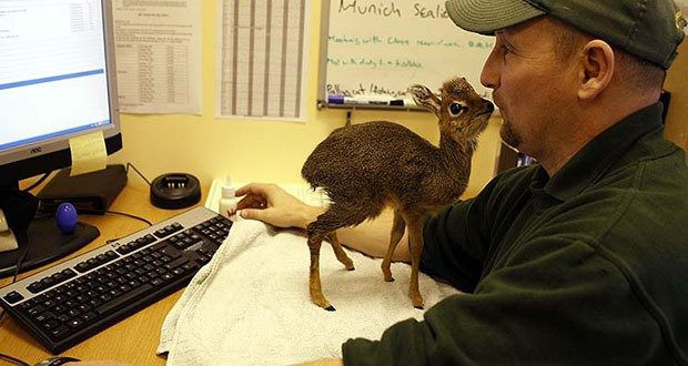 A baby Kirk's Dik Dik antelope stands on a desk in the office of Chester Zoo's curator of mammals Tim Rowlands, northern England, January 22, 2010. The antelope is being hand reared at the zoo after being rejected by its mother during the recent cold weather. REUTERS/Phil Noble (BRITAIN - Tags: ENVIRONMENT SOCIETY ANIMALS)