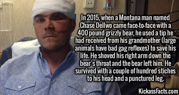 3382 Chase Dellwo-In 2015, when a Montana man named Chase Dellwo came face-to-face with a 400 pound grizzly bear, he used a tip he had received from his grandmother (large animals have bad gag reflexes) to save his life. He shoved his right arm down the bear's throat and the bear left him. He survived with a couple of hundred stiches to his head and a punctured leg.