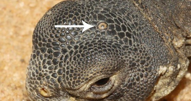 Iguana Third Eye
