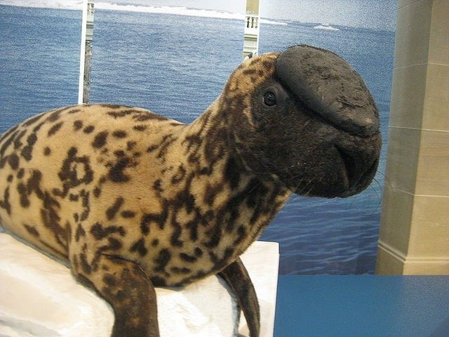 01. Hooded Seals