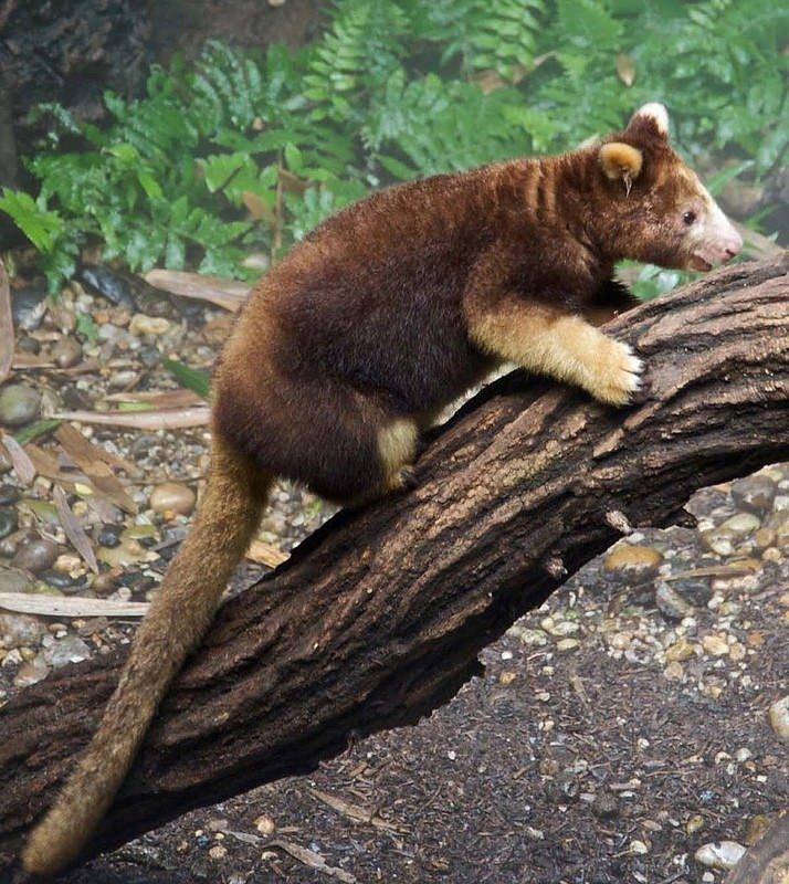 02. Tree Kangaroo