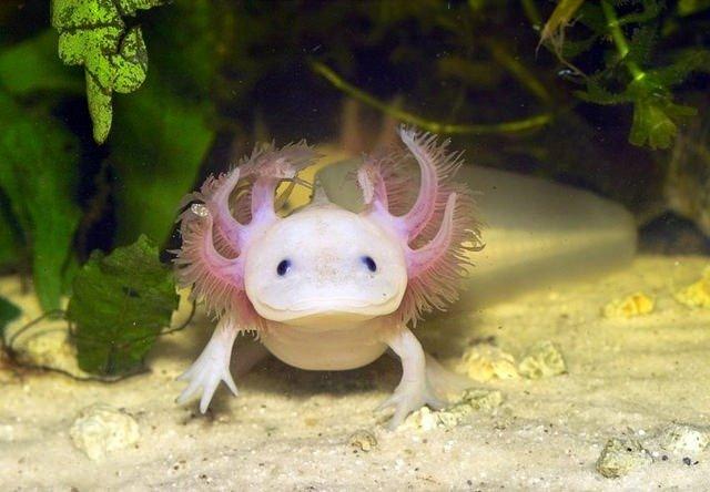 04. Axolotl