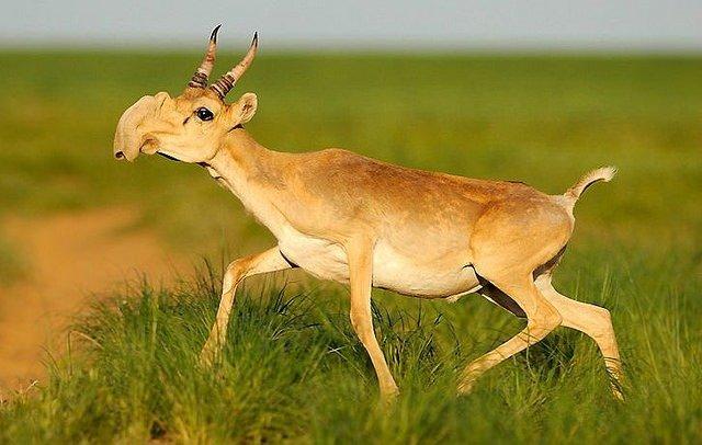 05. Saiga Antelope