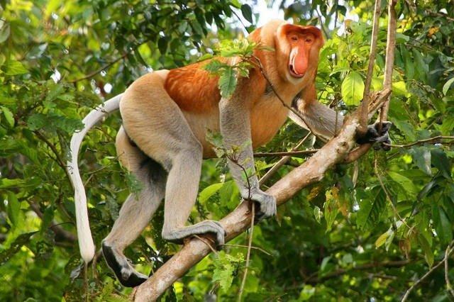 09. Proboscis Monkey
