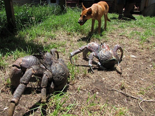 11. Coconut Crabs