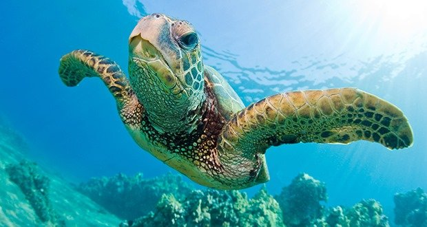 Green sea turtles of Florida