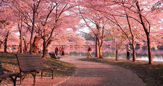 Washington DC's cherry trees