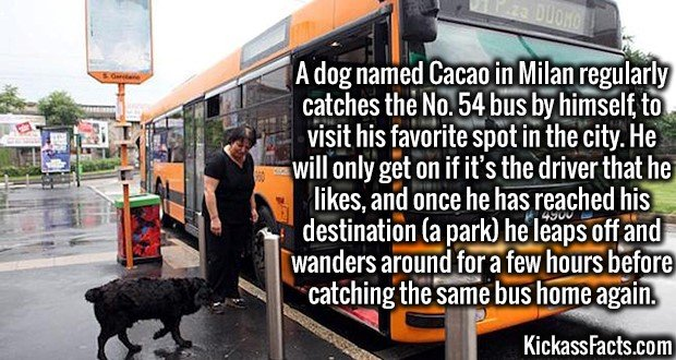 3623 Cacao Dog-A dog named Cacao in Milan regularly catches the No. 54 bus by himself, to visit his favorite spot in the city. He will only get on if it's the driver that he likes, and once he has reached his destination (a park) he leaps off and wanders around for a few hours before catching the same bus home again.