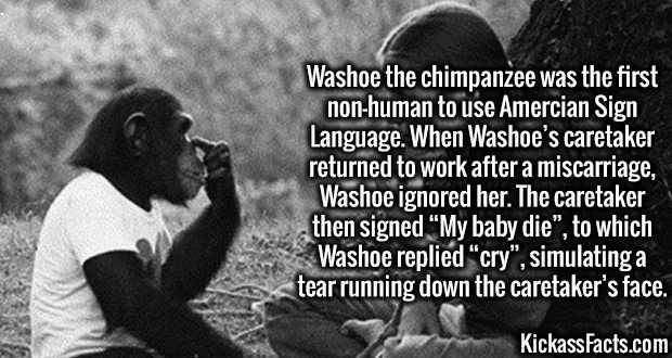 """3654 Washoe-Washoe the chimpanzee was the first non-human to use Amercian Sign Language. When Washoe's caretaker returned to work after a miscarriage, Washoe ignored her. The caretaker then signed """"My baby die"""", to which Washoe replied """"cry"""", simulating a tear running down the caretaker's face."""