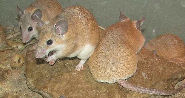 African spiny mice
