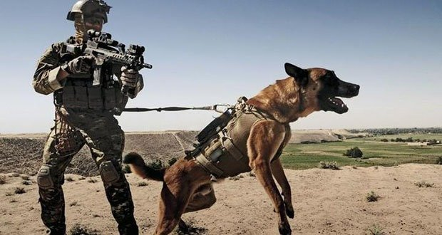 Hero German Shepherd