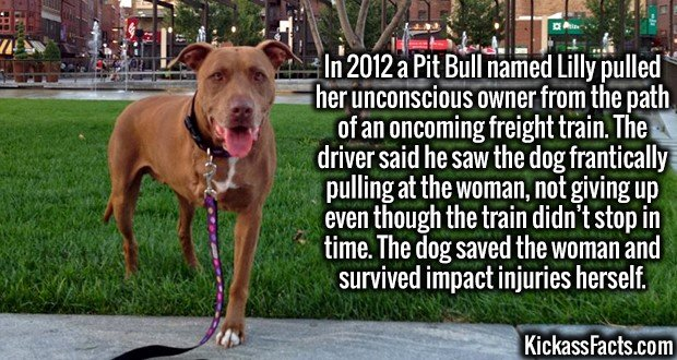 3782 Lilly Pitbull-In 2012 a Pit Bull named Lilly pulled her unconscious owner from the path of an oncoming freight train. The driver said he saw the dog frantically pulling at the woman, not giving up even though the train didn't stop in time. The dog saved the woman and survived impact injuries herself.