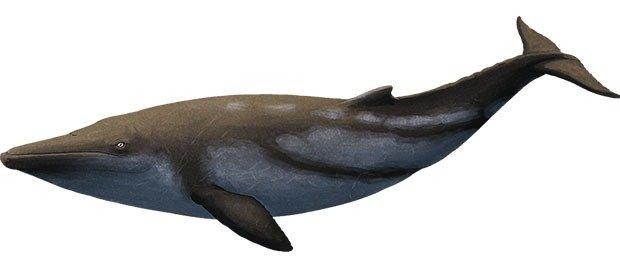 Eomysticetus