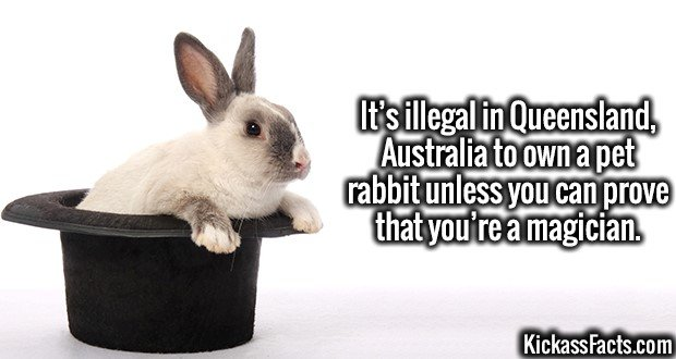 3939 Magical Rabbits-It's illegal in Queensland, Australia to own a pet rabbit unless you can prove that you're a magician.