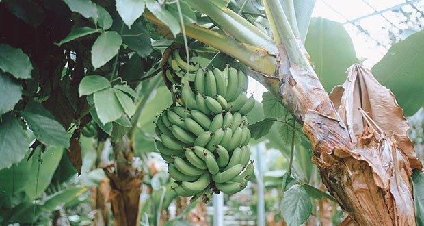 Iceland banana plantation