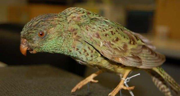 Australian Night Parrot