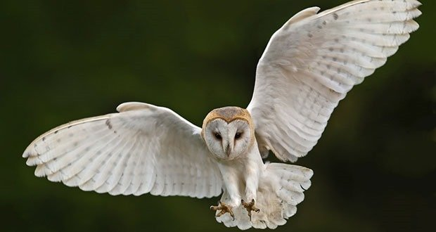 Stock Image of a Barn Owl in Flight