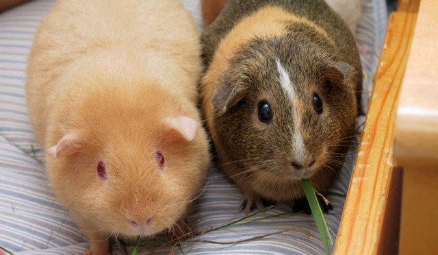 two adult guinea pigs