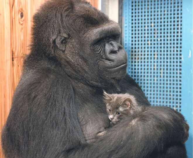 koko-gorilla
