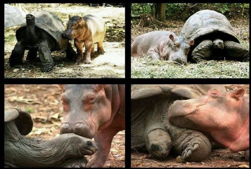 baby-hippo-and-tortoise