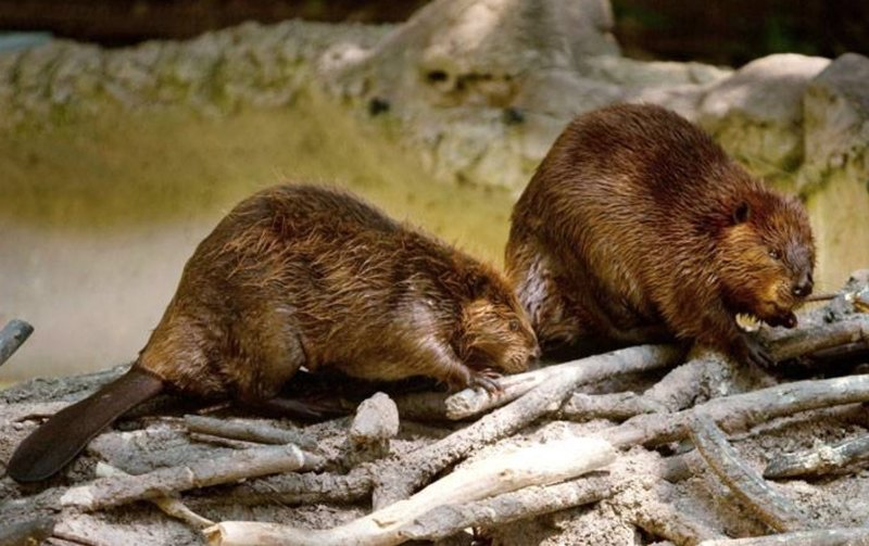 beaver-pair