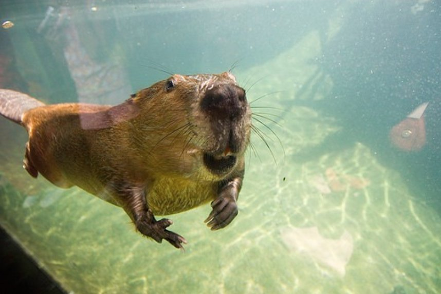 beaver-underwater