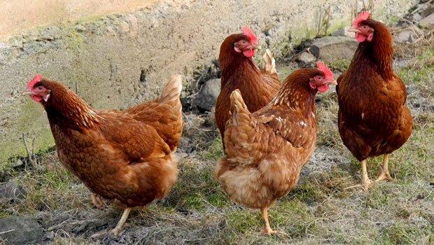 Chickenns