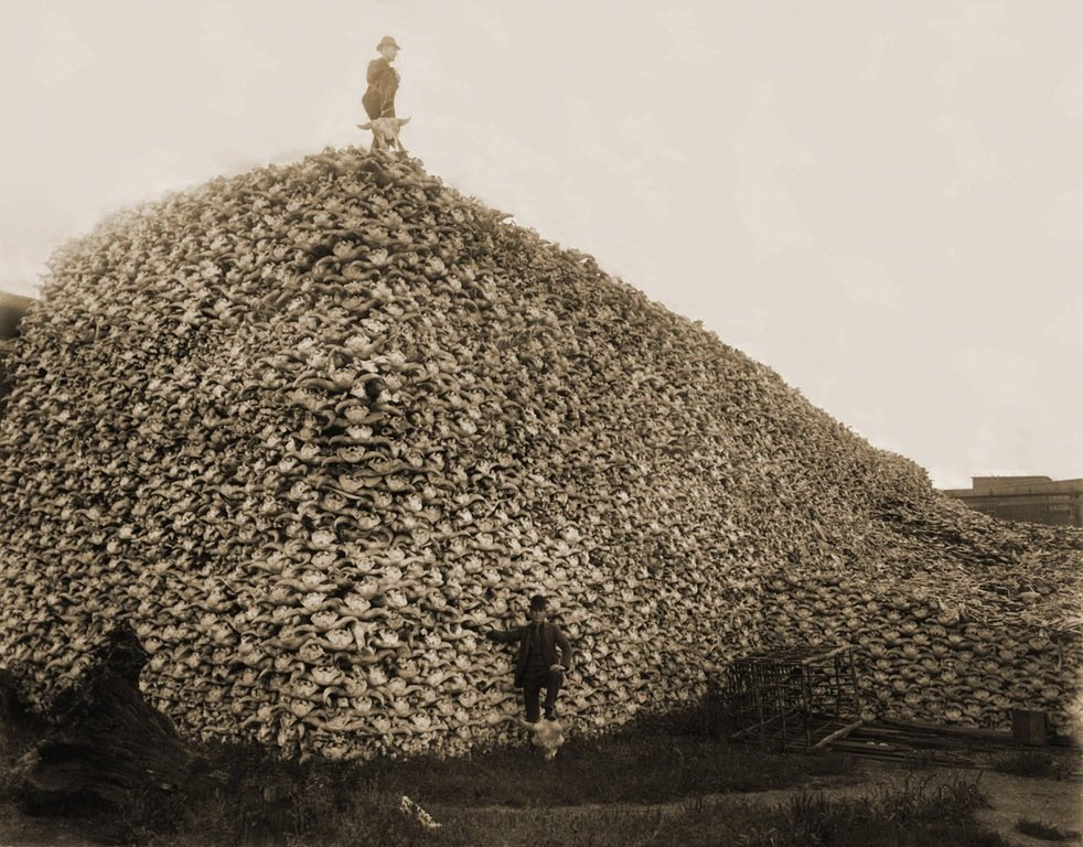 A pile of american bison skulls
