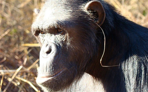 grass in ear of chimpanzees