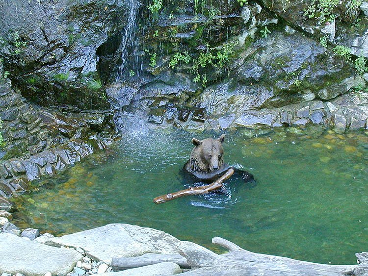 bear-in-water