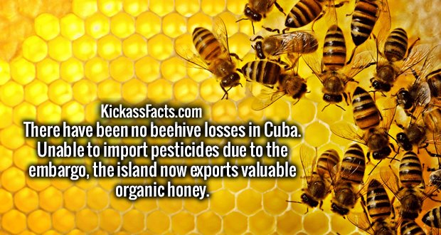 There have been no beehive losses in Cuba. Unable to import pesticides due to the embargo, the island now exports valuable organic honey.