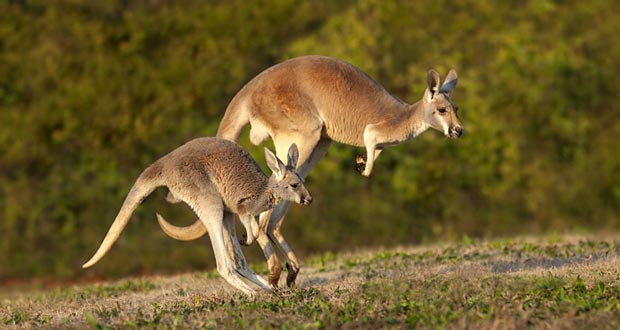 maps usa with 20 Interesting Kangaroo Facts on Ontimezone furthermore Kenya further Castle Neuschwanstein together with bomarzo together with The Enchantments Trail.