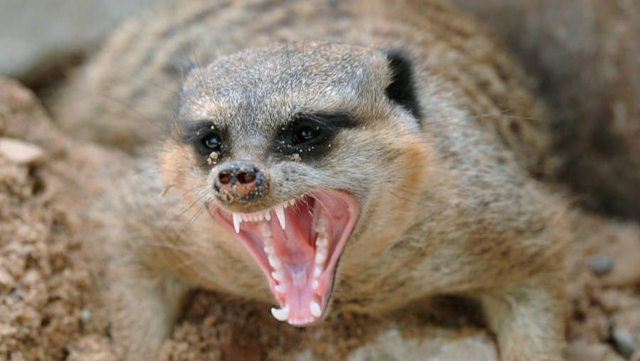 meerkat-murderous