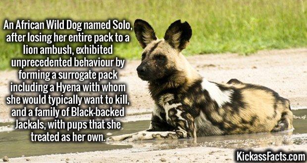 An African Wild Dog named Solo, after losing her entire pack to a lion ambush, exhibited unprecedented behaviour by forming a surrogate pack including a Hyena with whom she would typically want to kill, and a family of Black-backed Jackals, with pups that she treated as her own.