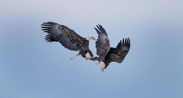 Bald Eagle Mate