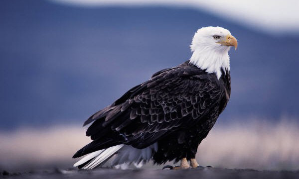 Bald Eagle Facts: Info and photos of the majestic bald eagle