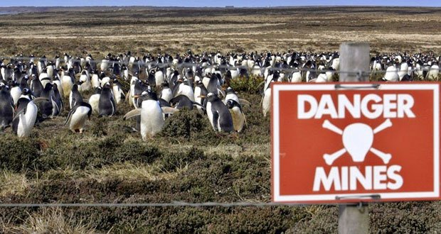 falkland-penguins-minefield