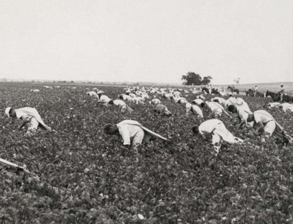 inmates-picking-cotton-texas