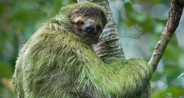moldy-sloth