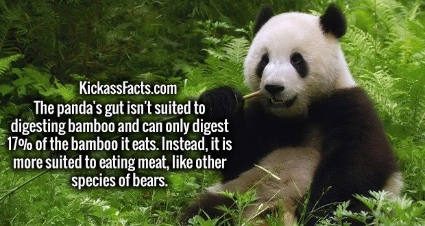 The panda's gut isn't suited to digesting bamboo and can only digest 17% of the bamboo it eats. Instead, it is more suited to eating meat, like other species of bears.