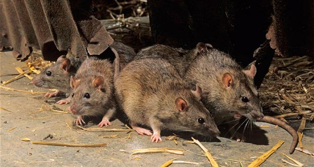 rat-facts