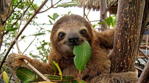 sloth-eating-leaf